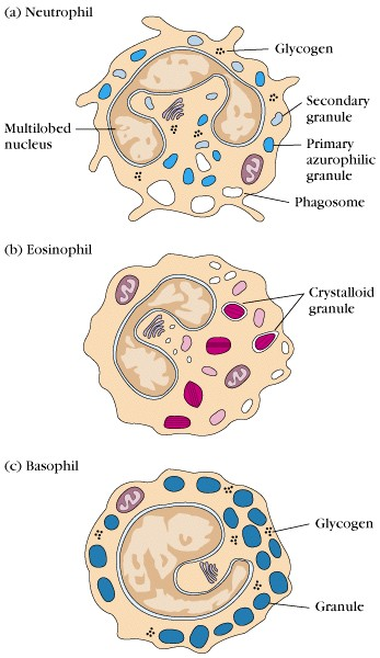 Granulocytes on in immune system